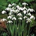 Galanthus Snowdrops x 100