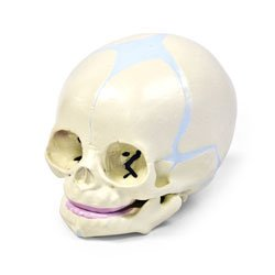 Human Fetal Skull: Amazon.com: Industrial & Scientific