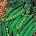 Just Seed Pea - Lincoln - 40 Seeds - Small Garden Packet