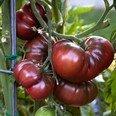 tomate-black-krim-10-samen