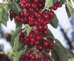 Lapins Cherry Tree -- 12 by 12 Inch Container