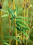 Golden Goddess Bamboo -- 12 by 12 Inch Container