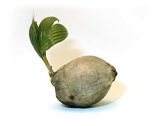 Sprouted Coconut Palm Tree PlantB00024JE5Q : image