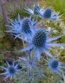 25 BLUE STAR SEA HOLLY Eryngium Flower Seeds