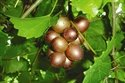 Welder Muscadine Grape Vine, Bronze; Fruit Are Medium in Size, Good Flavor, Very Sweet, Great for Producing Juice and Wine. (1 Gallon Plant) (Bare Root Grapes compare prices)