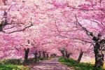 四季の詩 1000ピース 桃色の道 (権現堂桜堤) (50cm×75cm、対応パネルNo.10)