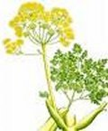 Galbanum 10ml - Pure Essential Oil (Ellwoods of Dumfries are Members of the Aromatherapy Trade Council)