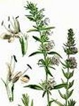 Hyssop 25ml - Pure Essential Oil (Ellwoods of Dumfries are Members of the Aromatherapy Trade Council)
