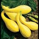 Just Seed Courgette - Early Yellow Crookneck - 150 Seeds