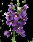 Verbascum 'Temptress Purple' / Hardy perennial / Seeds