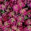 Alyssum - Easter Bonnet Deep Rose - 500 Seeds