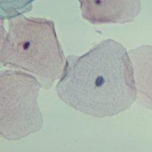 Human Strat. Squam. Epith. Microscope Slide, smear by Carolina Biological Supply Company