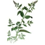 Peppermint Essential Oil. Mentha piperita. 30ml
