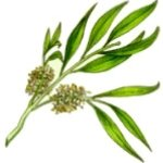 SimpleEarth Top Quality Tea Tree 10ml Essential Oil. Extraction Process - Steam Distillation.