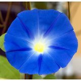 Heavenly Blue Morning Glory 750 Seeds