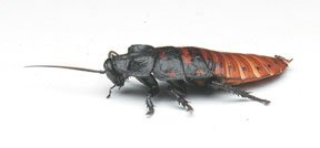nasco-insects-live-individual-madagascar-hissing-cockroaches