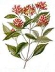 Clove Bud 10ml - 100% Pure Essential Oil (Ellwoods of Dumfries are Members of the Aromatherapy Trade Council)