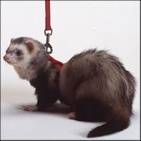 Ferret Nylon Harness Lead - Royal Blue - Buy Ferret Nylon Harness Lead - Royal Blue - Purchase Ferret Nylon Harness Lead - Royal Blue (Marshall Pet Products, Home & Garden, Categories, Pet Supplies, Small Animals, Collars Harnesses & Leashes, Leashes)
