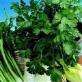 SEED BARGAINS: Herb Coriander Leisure (approx 100 Commercial Grade Seeds)