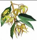 Ylang Ylang (Extra) 10ml - Pure Essential Oil (Ellwoods of Dumfries are Members of the Aromatherapy Trade Council)