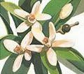 Neroli 5ml - Pure Essential Oil (Ellwoods of Dumfries are Members of the Aromatherapy Trade Council)