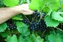 (1 Gallon) Jumbo Muscadine Grape Vine, Black Fruits Are Very Large in Size, (One of the Largest Black Muscadines), High Yields, Good Flavor (Bare Root Grapes compare prices)