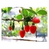 David's Garden Seeds Fruit Goji Berry DGS784 (Red) 500 Heirloom Seeds