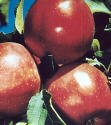 Red Delicious Apple Semi Dwarf Tree -- 12 by 12 Inch Container