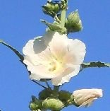 Stevia Rebaudiana Sugar Flower Herb Seeds And No. 152 30 Seeds Hollyhock Giant 14' Tall Hollyhock