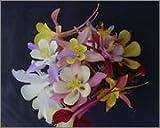 BM Plants Aquilegia 'McKana hybrids' , 2L , Columbine , Granny's Bonnets , Perennial