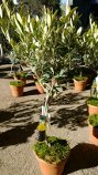 Olive Tree with Braided Trunk and 50 ml of Olive Oil, Shipped in Soil