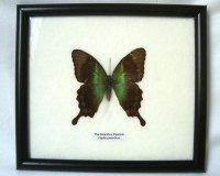 Véritable papillon encadré - The Peranthus Peacock (Papilio peranthus) (70002)