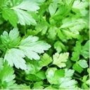 Giant Italian Flat Leaf Parsley 'Oscar' / Good Chef's variety / Seeds