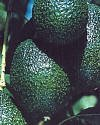 hass-and-fuerte-avocado-year-round-fruit-with-our-two-tree-combo-12-by-12-inch-container