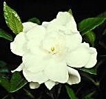 Gardenia August Beauty *Large Double Very Fragrant Flower* One Gallon