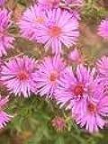100 PINK NEW ENGLAND ASTER Aster Novae var Angliae Flower Seeds