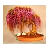 10PC Rare Gold Mini Bonsai Wisteria Tree Seeds Indoor Ornamental Plants