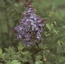 Lilac Lavender Lady Super -- 6 by 6 Inch Container