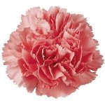 Bulk Carnations | Hot Pink | 400
