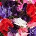 SWEET PEA - ROYAL FAMILY MIX - 60 FLOWER SEEDS