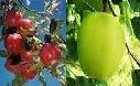 10 Mixed Apple Tree Seeds