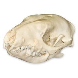 Hedgehog Skull (Natural Bone Quality A)