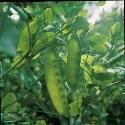 Just Seed Pea - Carouby de Maussane - 40 Seeds - Small Garden Pack
