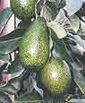 Little Cado Dwarf Avocado Tree Five Gallon