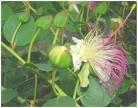 capparis-spinosa-caper-bush-50-seeds