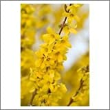 BM Plants Forsythia x intermedia 'Minigold' , 1L , Shrub