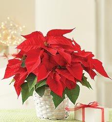 Selecting Holiday Plants