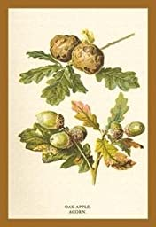 30 x 20 Stretched Canvas Poster Oak Apple Acorn