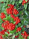 BM Plants Pyracantha coccinea 'Red Column' , 3L , Firethorn , Shrub