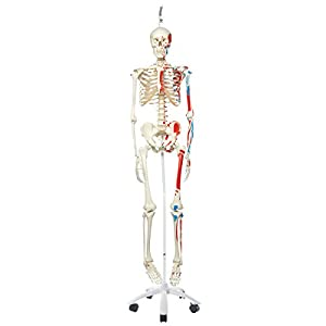 3B Scientific A11/1 Plastic Human Muscle Skeleton Model